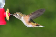 Allens Hummingbird (Selasphorus sasin) Stock Photos
