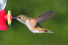 Allens Hummingbird (Selasphorus sasin) Stock Photos