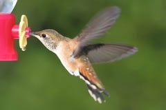 Allens Hummingbird (Selasphorus sasin) Royalty Free Stock Photos