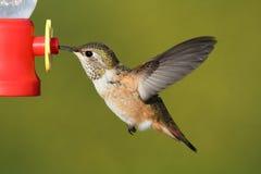 Allens Hummingbird (Selasphorus sasin) Stock Photography