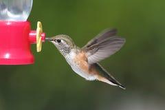 Allens Hummingbird (Selasphorus sasin) Royalty Free Stock Photography