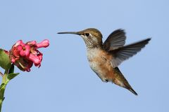 Allens Hummingbird (Selasphorus sasin) Royalty Free Stock Photos