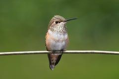 Allens Hummingbird (Selasphorus sasin) Stock Photo