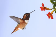 Allens Kolibri Lizenzfreie Stockfotografie