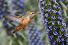 Allens Kolibri Lizenzfreies Stockbild