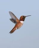 Allens Kolibri Lizenzfreie Stockbilder