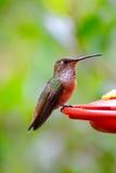 Allens kolibri som sätta sig på förlagematare arkivfoto