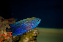 Allens or Neon Damselfish Stock Photos