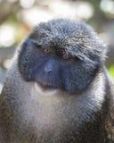 Allens Swamp Monkey. Headshot of Allens Swamp Monkey Stock Photos