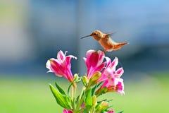 Allenskolibrie die over bloemen hangen Stock Fotografie