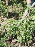 Allentamento della terra in giardino dalla zappa Fotografia Stock Libera da Diritti