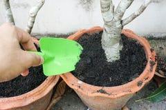 Allenti il suolo in un piccolo vaso con una piccola pala verde Fotografia Stock