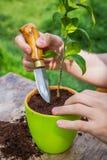 Allenti la terra Cura della pianta in vaso Trapianto della pianta fotografia stock libera da diritti