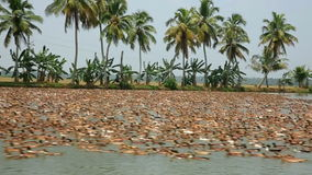 ALLEPPEY, INDIA - MARCH 2013: Large colony of ducks Stock Photography