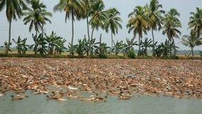 ALLEPPEY INDIA, MARZEC, - 2013: Wielka kolonia kaczki zdjęcie wideo