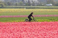 Aller à vélo par les gisements de fleur images stock