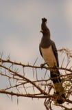 Aller-loin-oiseau Blanc-gonflé Photos libres de droits