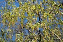 Allergia stagionale - fiore dell'albero di betulla, polline Fotografie Stock Libere da Diritti
