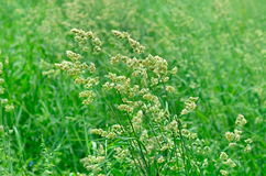 Allergic blooming grass Royalty Free Stock Photo