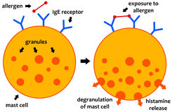 Allergy. Biochemical processes during an allergic reaction royalty free illustration