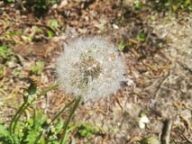 The dandelion flower royalty free stock images