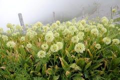 Allermannsharnisch flowers Stock Photos