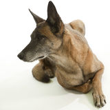 Allert police dog Stock Images