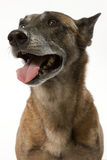 Allert police dog Stock Photography