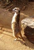 Allerta africana del sud di Meerkat Fotografia Stock