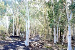Allerta bianca dell'albero al parco nazionale di Warrumbungle Fotografie Stock