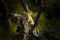 Allerta del leopardo Immagini Stock Libere da Diritti
