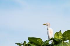 Allerta dell'ibis Immagine Stock Libera da Diritti