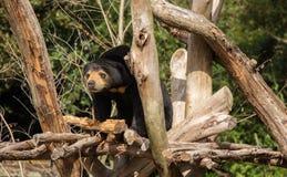 Allerta dell'orso malese Immagine Stock