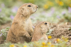 Allerta della famiglia per il pericolo dalle marmotte Immagini Stock
