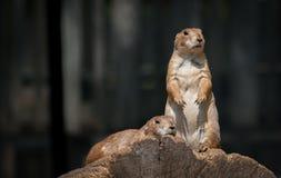 Allerta della marmotta Immagini Stock Libere da Diritti
