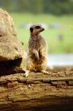 Allerta di Meerkat Fotografie Stock