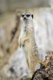 Allerta di Meerkat Fotografia Stock