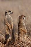 Allerta di Meerkat Immagini Stock