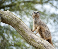 Allerta di Meerkat sul ramo di albero Fotografia Stock
