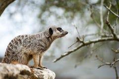Allerta di Meerkat sul ramo di albero Immagini Stock Libere da Diritti