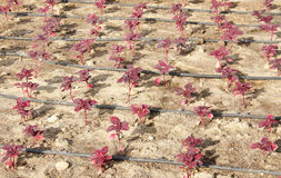 Alles rote Blatt, chinesischer Spinat mit Tropfenfängerwasserrohr lizenzfreie stockbilder