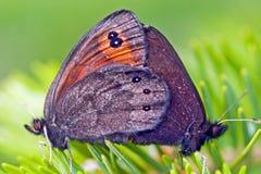 Allevamento alpino comune delle farfalle Fotografia Stock Libera da Diritti