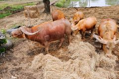 Allevamento bestiame Fotografia Stock Libera da Diritti