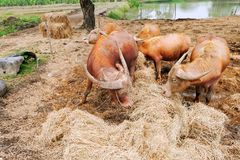 Allevamento bestiame Fotografie Stock Libere da Diritti