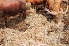Allevamento bestiame Immagine Stock