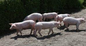 Allevamento bestiame ad estate rurale di scena del cortile all'aperto Fotografie Stock Libere da Diritti