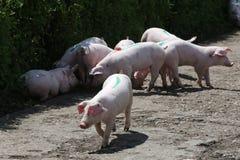 Allevamento bestiame ad estate rurale di scena del cortile all'aperto Fotografia Stock