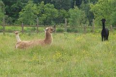 Allevamento bestiame all'aperto della lana di agricoltura del campo di verde del pascolo della lama dell'alpaca Fotografia Stock