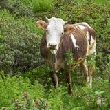 Allevamento bestiame organico con la mucca Fotografie Stock Libere da Diritti