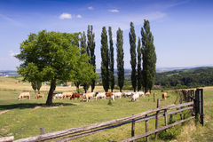 Allevamento bestiame su un'azienda agricola rurale Immagini Stock Libere da Diritti